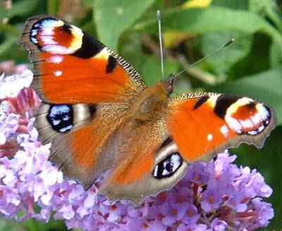 A beautifully coloured Peacock Butterfly