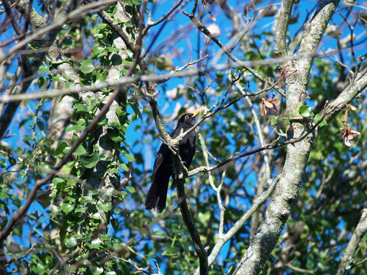 Anglesey, Blackbird in a tree