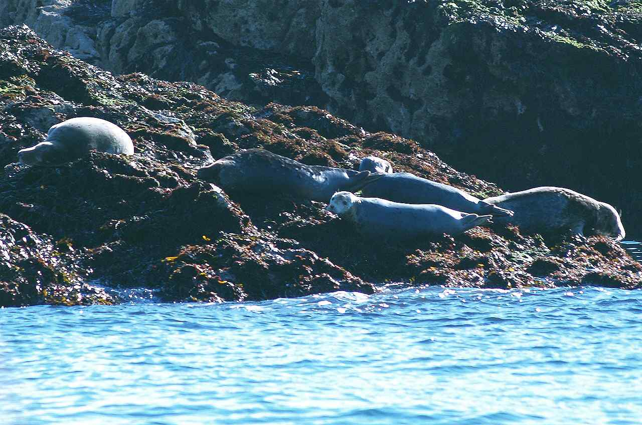 A group of Grey seals on the rocks of Puffin Island