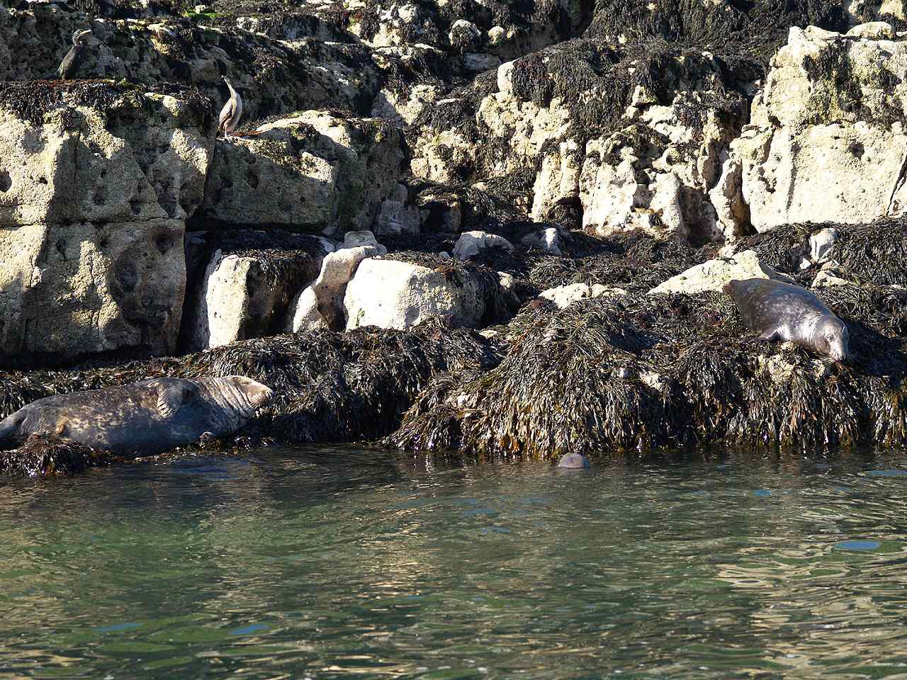 A small group of Grey Seals basking on the rocks at Puffin Island