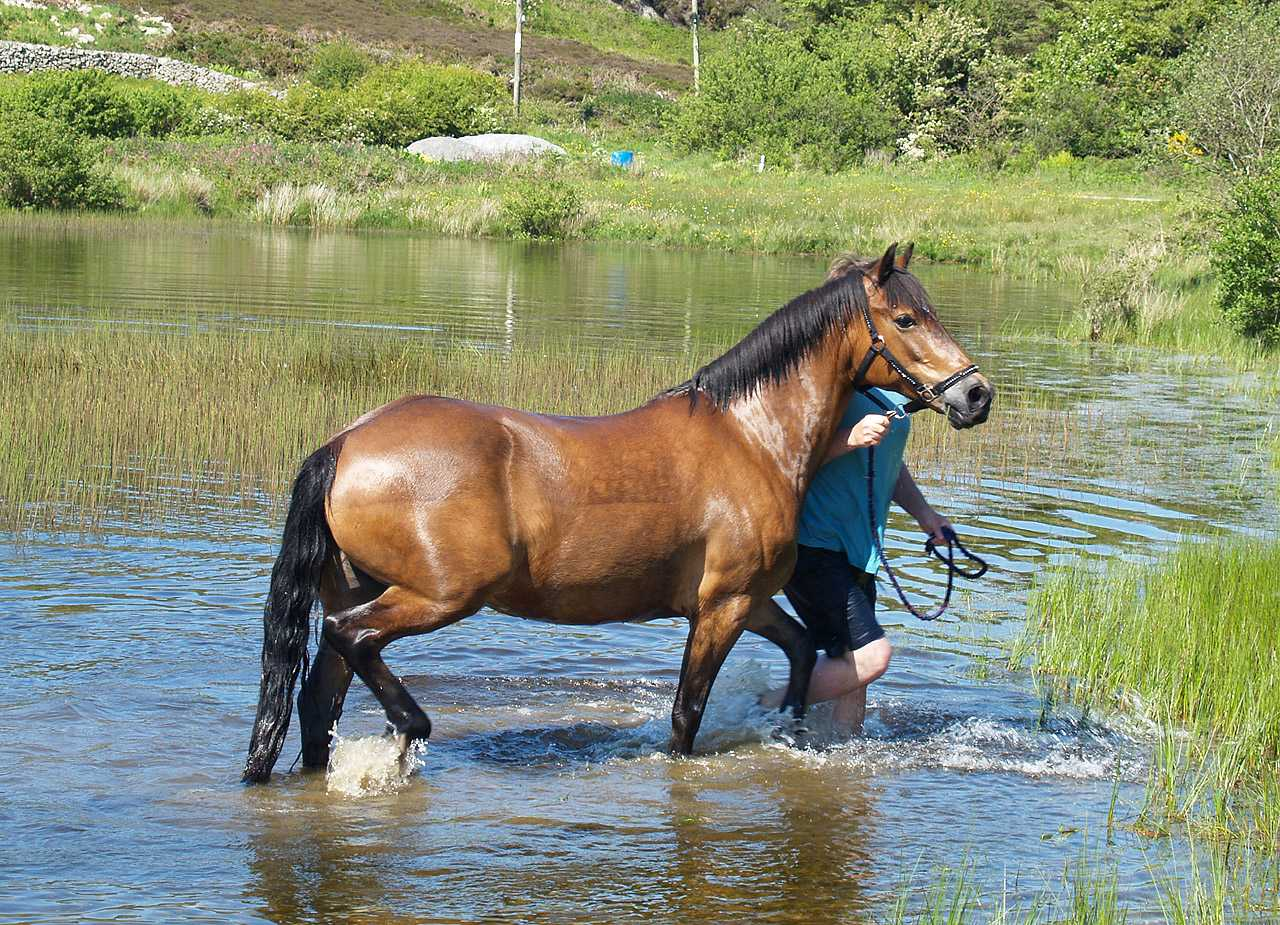 Anglesey, Mynydd Bodafon, Horse and Owner after a swim in the lake